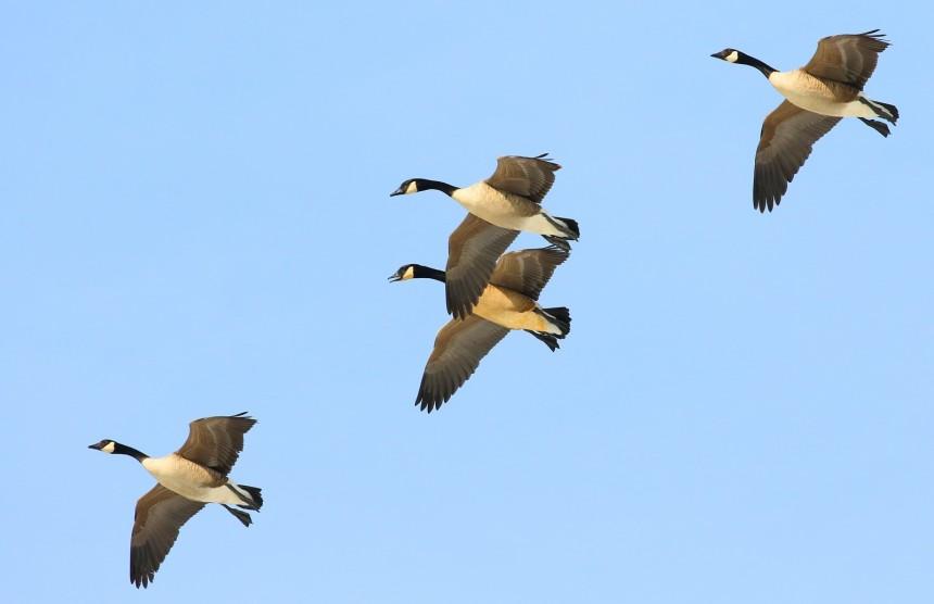 canada_geese_cardinal_marsh_winneshiek_county_iowa_larry-868605